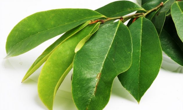 Manfaat daun sirsak untuk basmi kutu