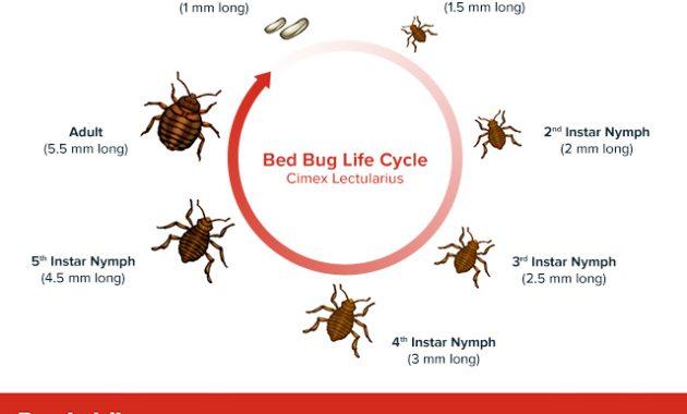 siklus hidup kutu kasur